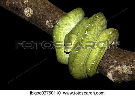 Stock Photography of Green Tree Python (Morelia viridis.