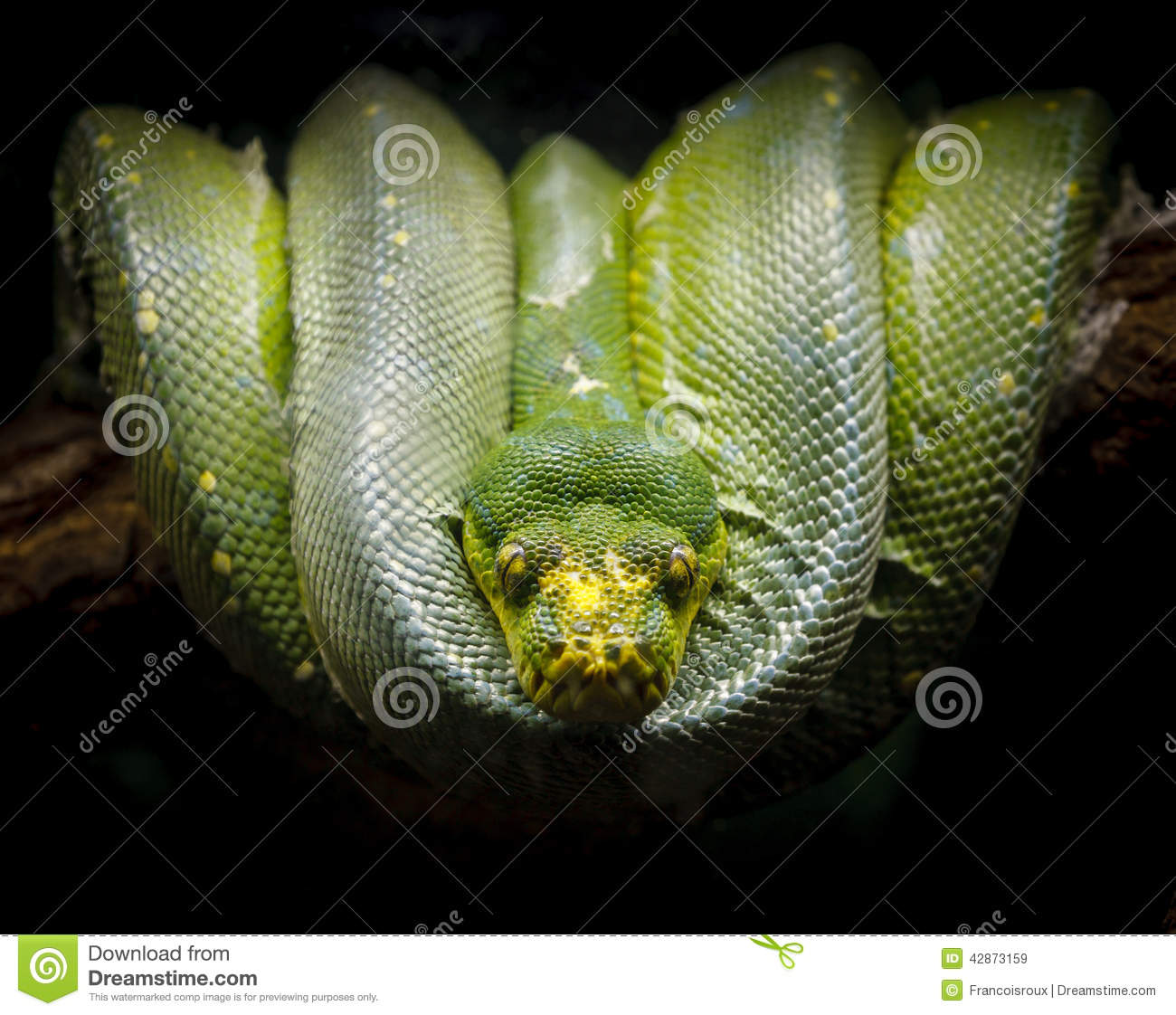 Green Tree Python Coiled On A Branch. Morelia Viridis. Stock Photo.