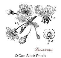 Morello cherry Clipart and Stock Illustrations. 17 Morello cherry.