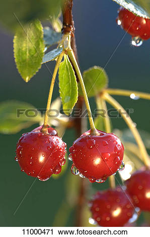 Stock Photography of Morello cherries on a tree 11000471.