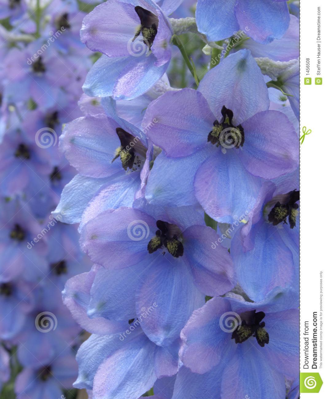 Larkspur (Delphinium Elatum 'Morgentau') Royalty Free Stock Photos.