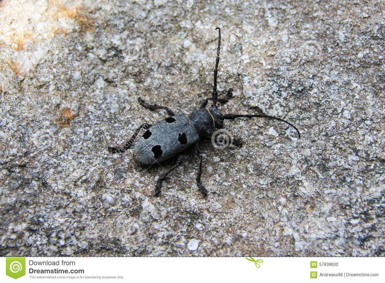 Morimus Funereus Beetle Bug.