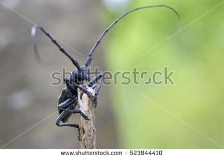 Cerambycidae Stock Photos, Royalty.