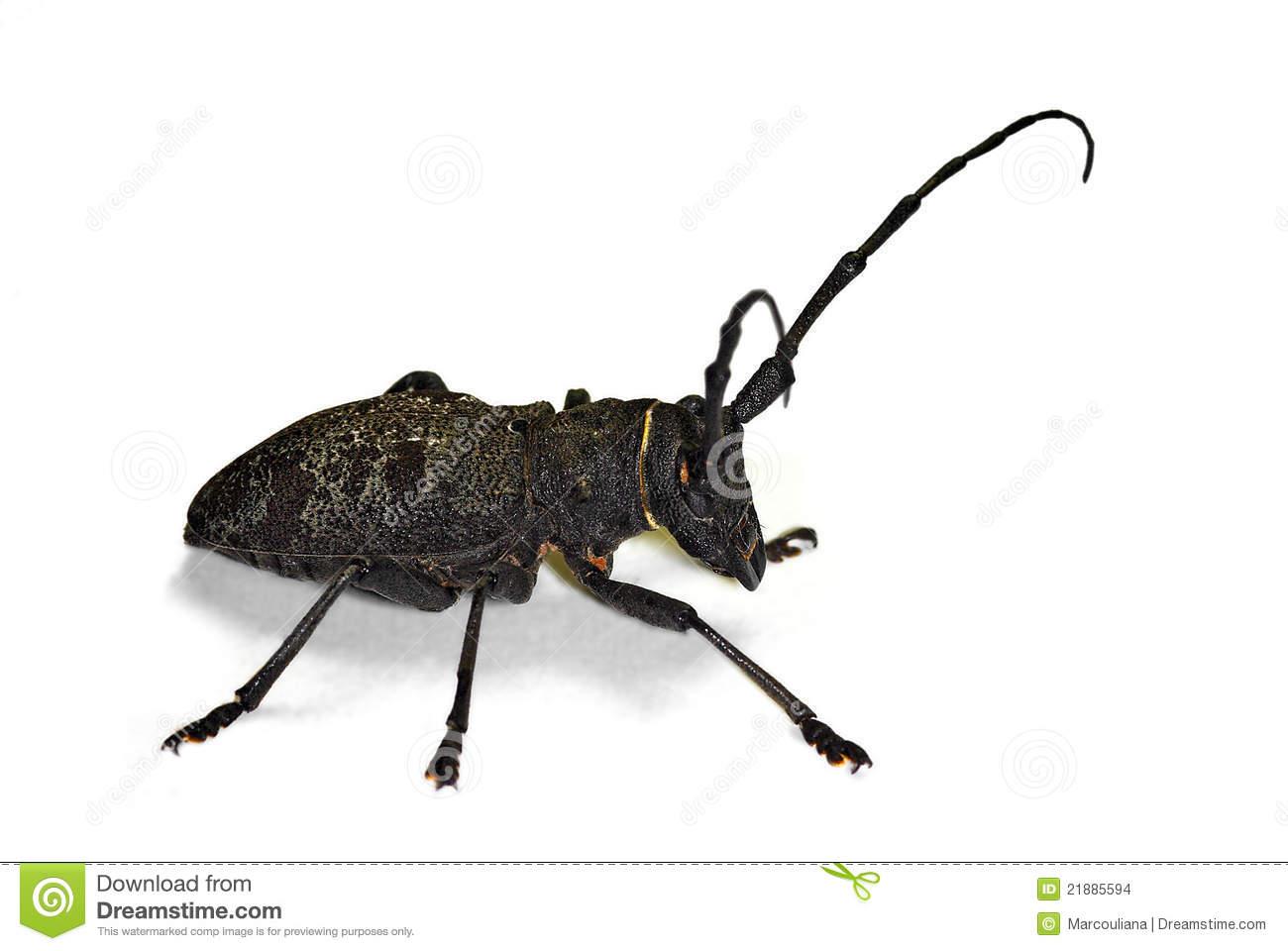 Morimus Asper Longhorn Beetle Stock Images.