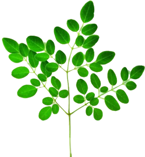 Moringa Tree plant benefits.