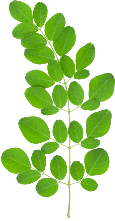 Pin by Yououghta know on Moringa Trees in 2019.