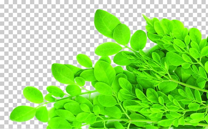 Drumstick tree Food Health Dietary fiber Nutrition, moringa.