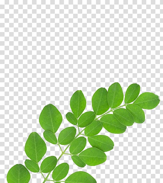 Green leaves, Drumstick tree Nutrient Dietary supplement.
