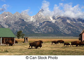 Stock Photography of Bison and Mormon Row Barn in the Grand Tetons.