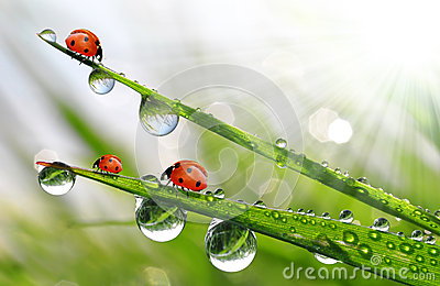 Fresh Morning Dew Ladybirds Stock Photos, Images, & Pictures.