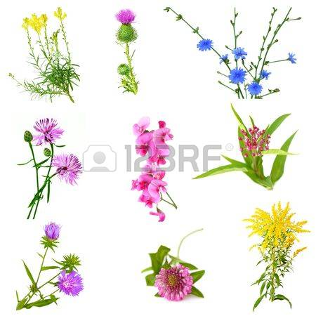 Toadflax Stock Photos Images. Royalty Free Toadflax Images And.