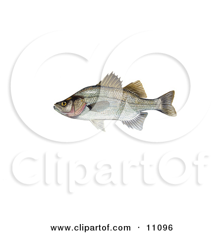 Morone chrysops clipart #14