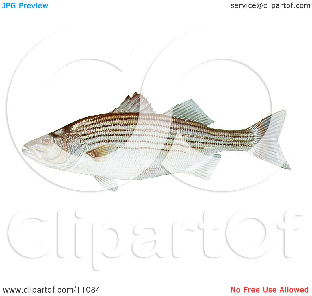 Clipart Illustration of a Striped Bass Fish (Morone saxatilis) by.