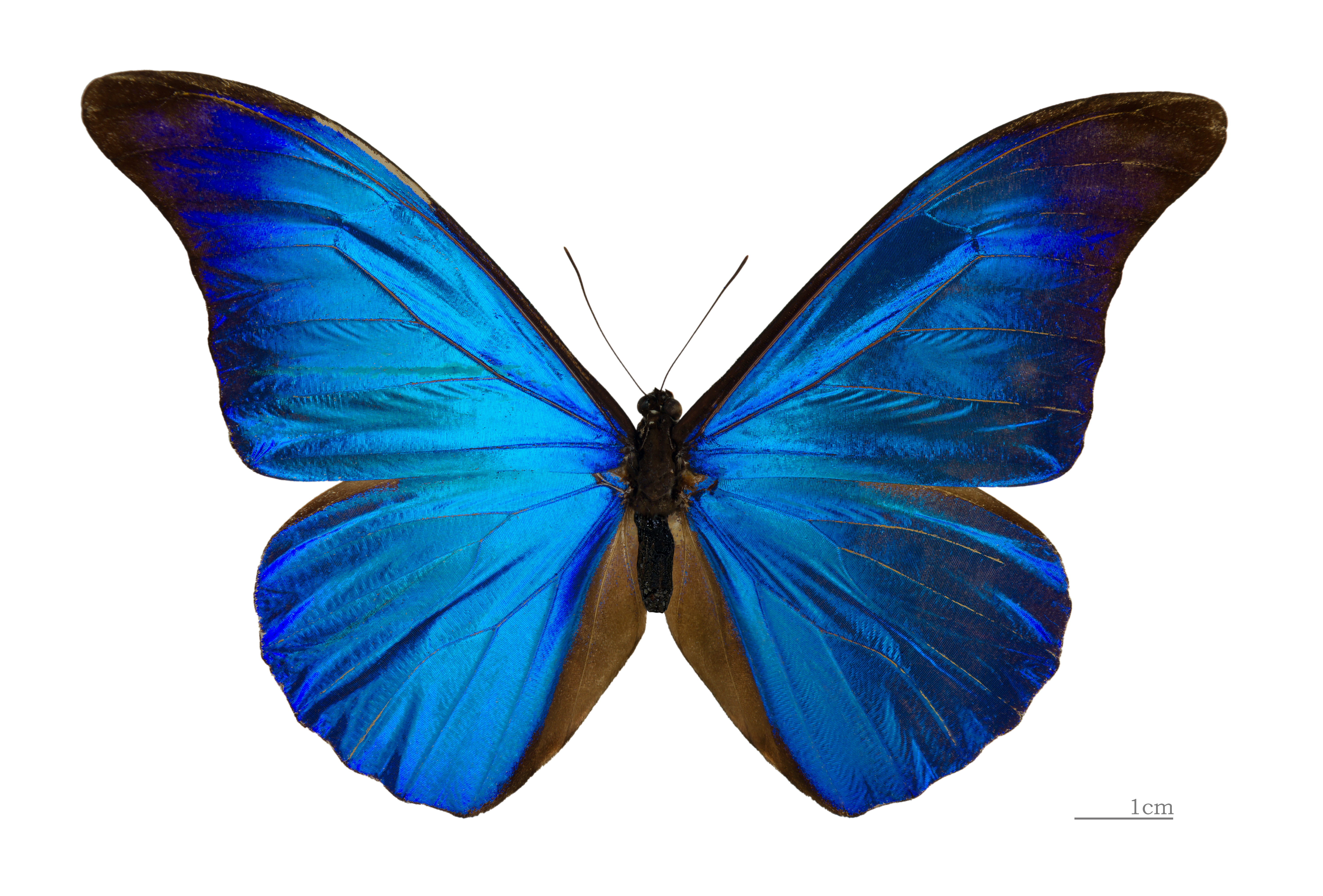 Blue Butterfly Pictures.