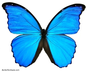 Blue Morpho Didius.