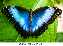 Stock Photography of The Peleides Blue Morpho butterfly, Morpho.
