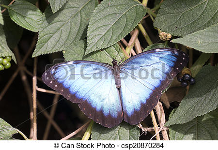 Pictures of Blue Morpho Butterfly (Morpho peleides) with bright.