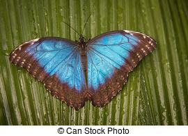 Picture of common blue morpho, Morpho peleides.