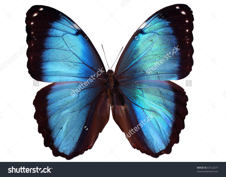 Blue Morpho Butterfly Morpho Peleides Stock Photo 63122677.
