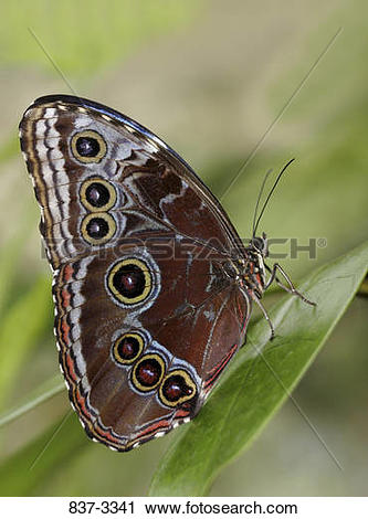 Stock Photography of Blue Morpho butterfly (Morpho peleides) on a.