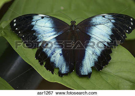Picture of Blue morpho butterfly, morpho peleides asr1267.