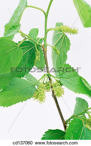 Stock Photography of White Mulberry (Morus alba) cd137060.