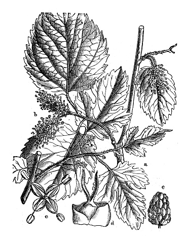 Mulberry Tree Clip Art, Vector Images & Illustrations.