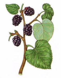 Cultivated Silkmoth Bombyx mori, White Mulberry Morus alba.