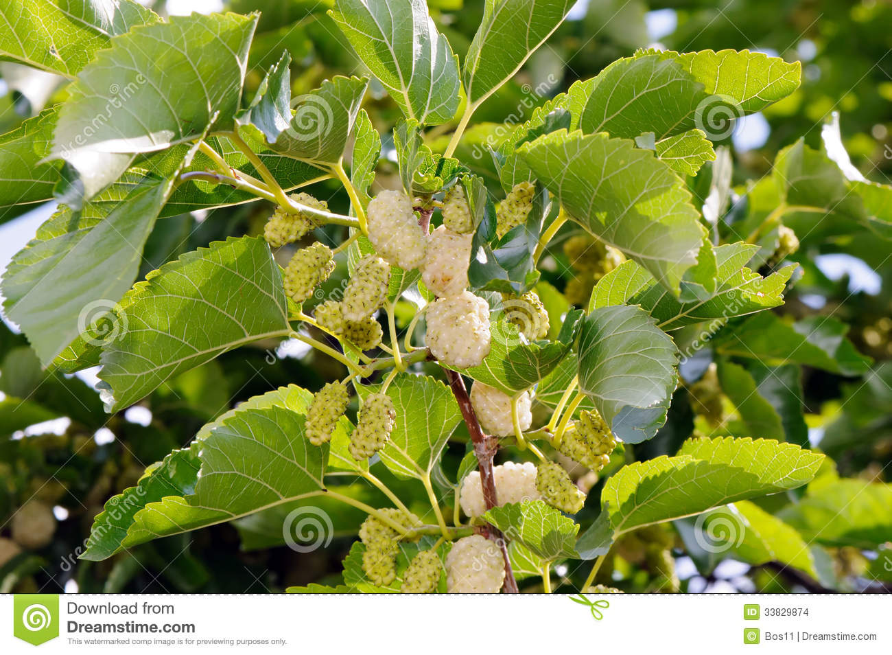White Mulberry (Morus Alba) Stock Images.