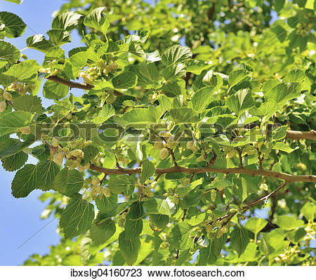 Stock Photo of White mulberry (Morus alba), branch with ripe.