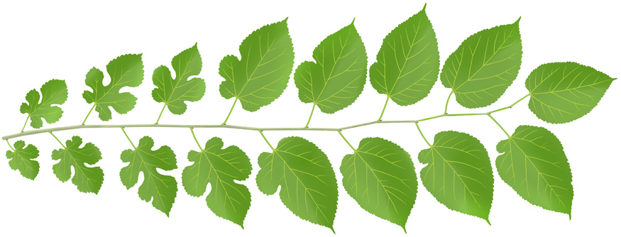 White mulberry leaves.