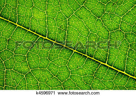 Stock Photography of Mulberry leaf texture , super macro , backlit.
