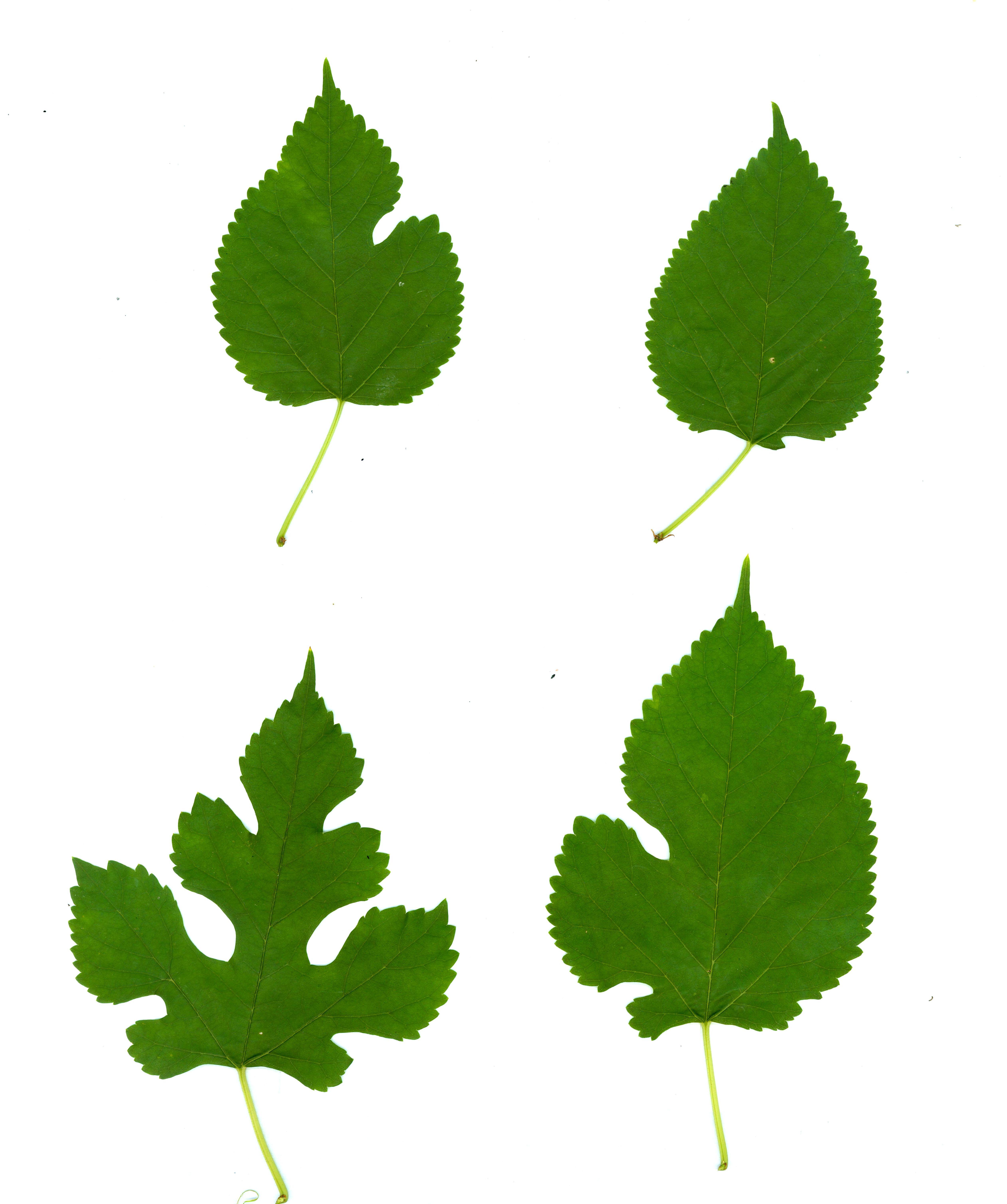 Morus Alba Leavesjpg Clipart.
