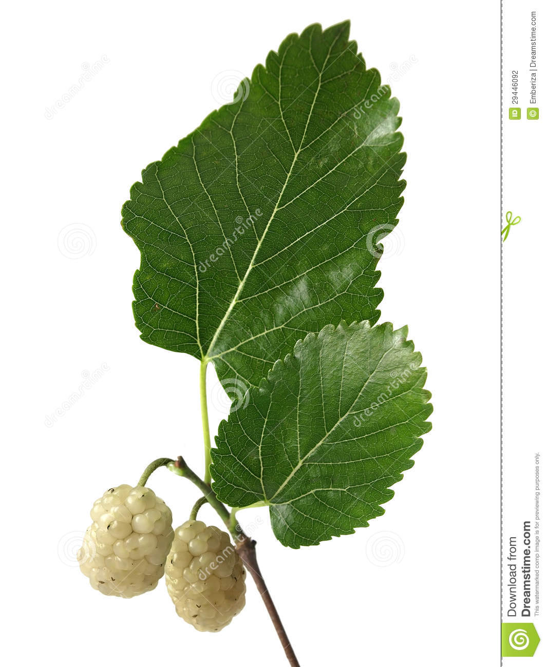 White Mulberry (Morus Alba) Stock Photography.