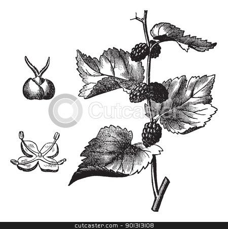 Black mulberry (Morus nigra), vintage engraving stock vector.