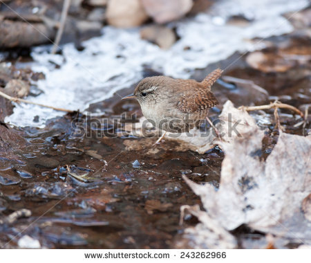 Eurasian Wren Stock Photos, Royalty.