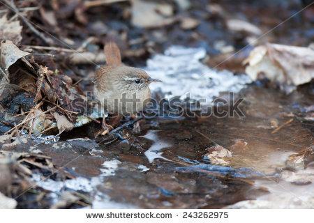 Eurasian Wren Stock Photos, Royalty.