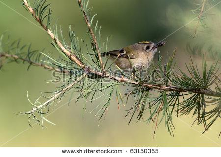 Goldcrest Bird Stock Photos, Royalty.