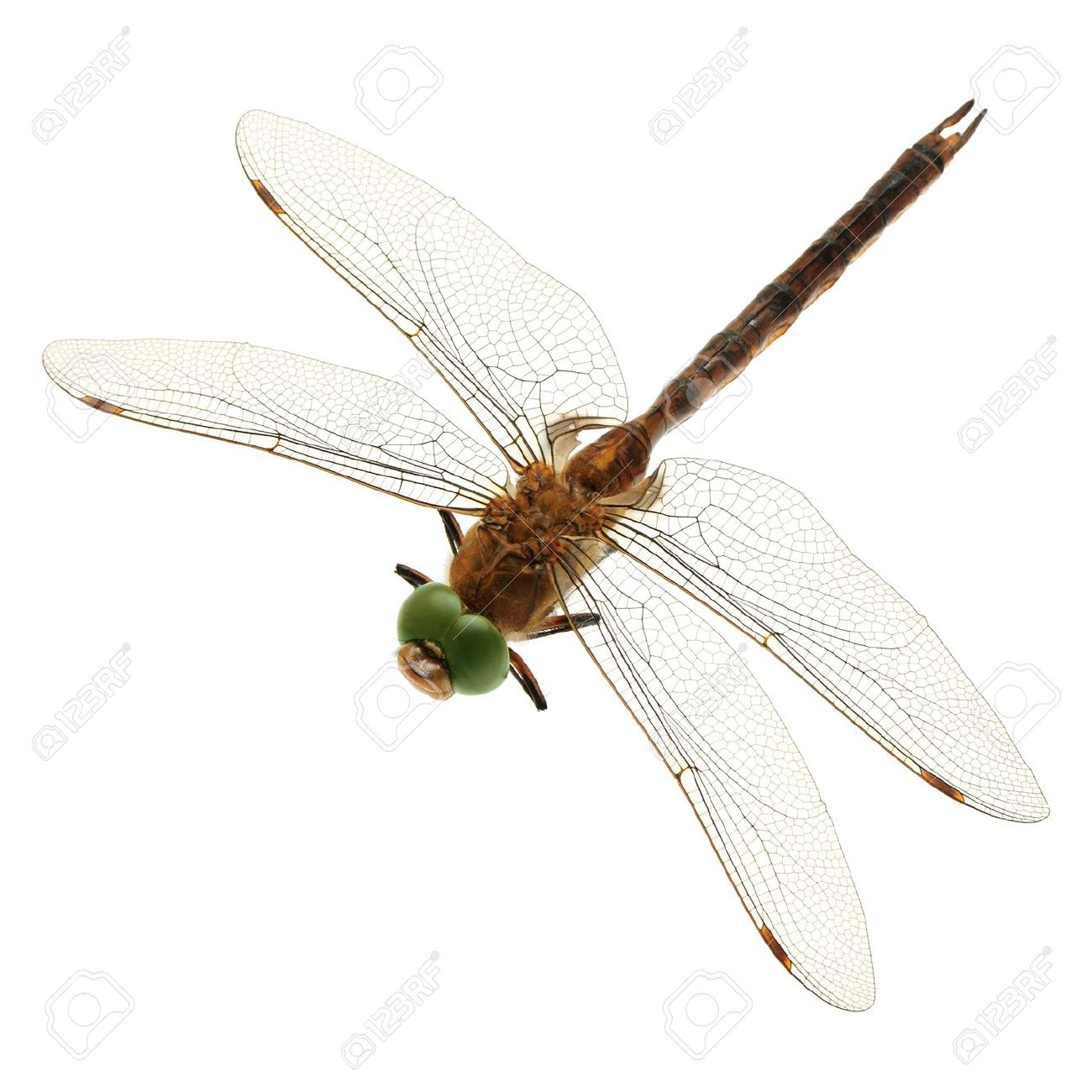 Mosquito Hawk Stock Photos Images. Royalty Free Mosquito Hawk.