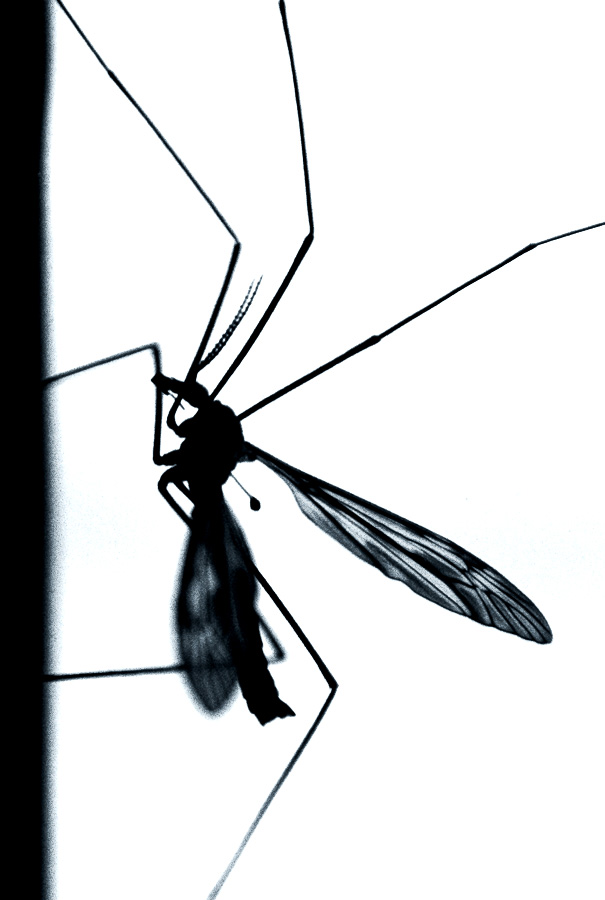 Mosquito Hawk Pictures.