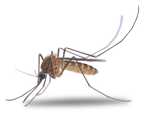Best Mosquito Clipart #2803.