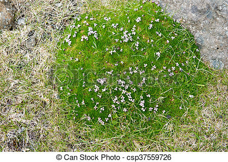 Stock Photo of Moss Campion, Silene acaulis blooming on the Faroe.