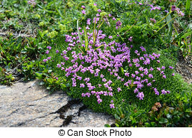Stock Image of Moss campion (Silene acaulis).