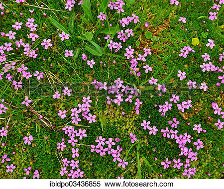 """Stock Image of """"A patch of Cushion Pink or Moss Campion (Silene."""