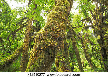 Picture of Temperate rainforest with moss covered maples x12510277.