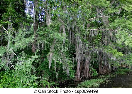 Stock Photography of Cypress Tree With Spanish Moss.