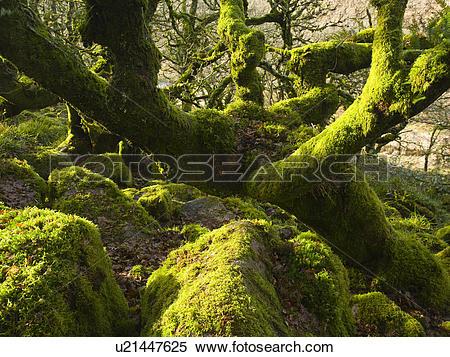 Stock Image of England, Devon, Dartmoor. Ancient stunted moss.