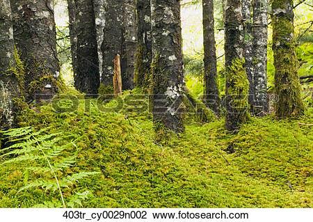 Stock Photo of Moss covered spruce forest Anton Larsen Bay Kodiak.