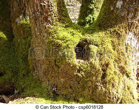 Pictures of Moss covered tree trunk showing hole into hollowed out.