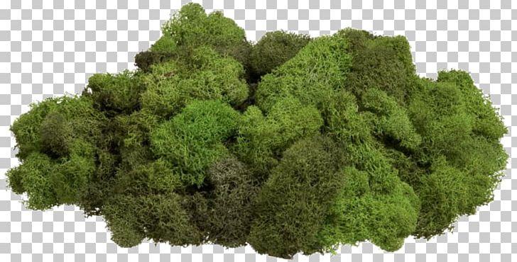 Moss Reindeer Lichen Стабилизированный мох Gametophyte PNG.